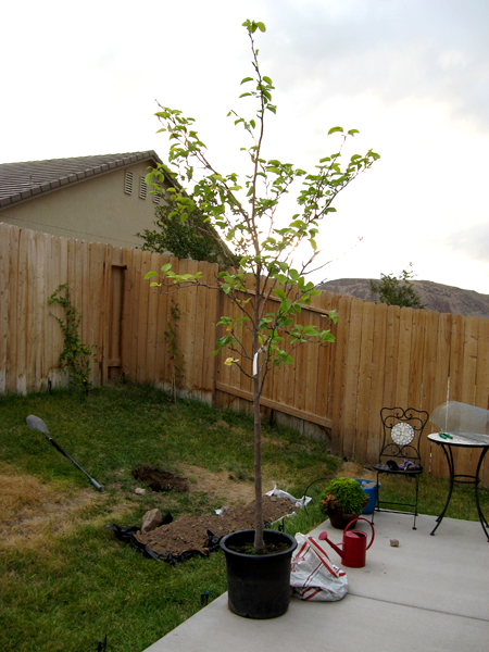 Gardenblog » Blog Archive » Asian Pears, Digging Holes, And Rocks